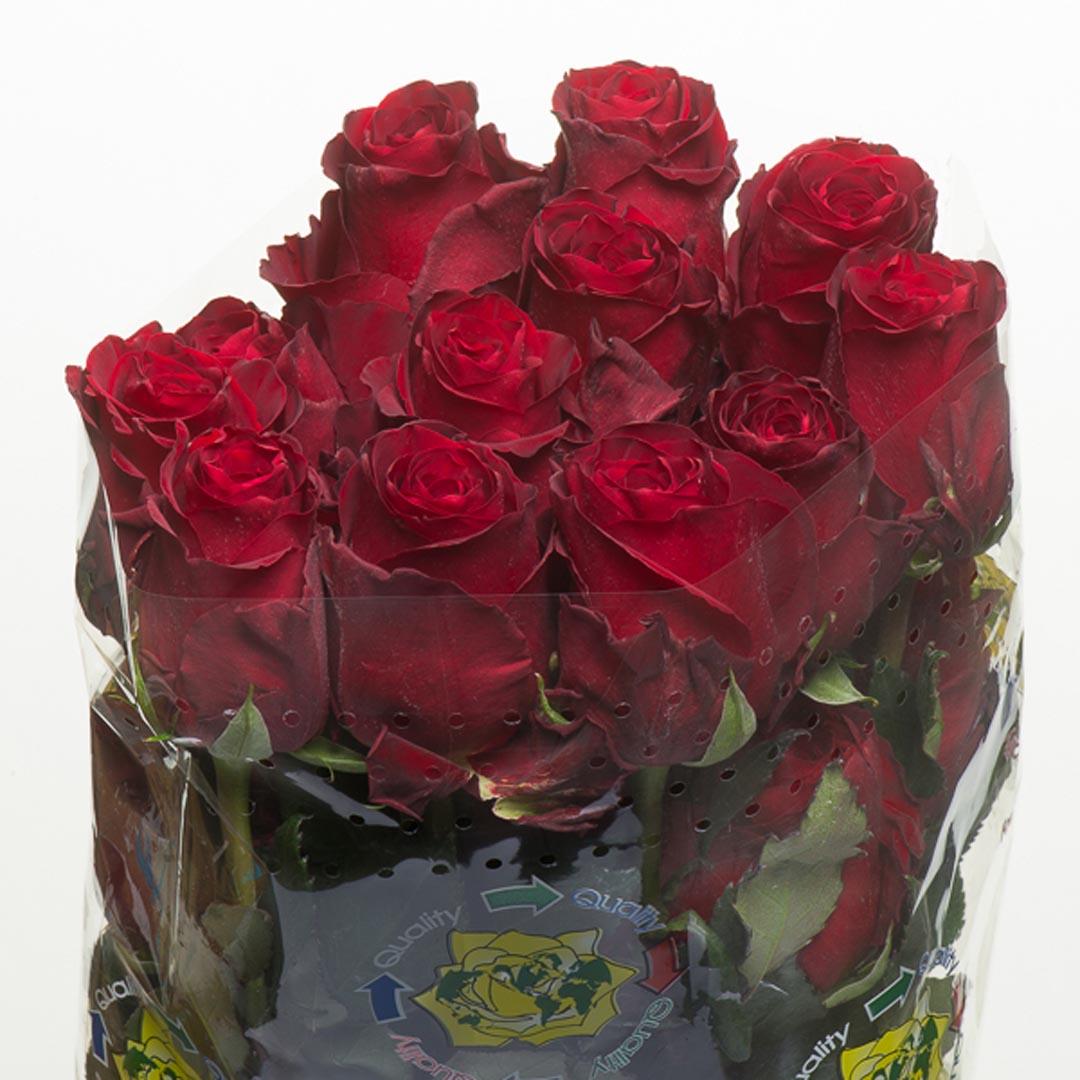 роза эксплорер фото эквадор